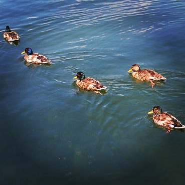 Ducks in the marina at Ashbridge's Bay Park
