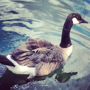 A Canada goose in the marina of Ashbridge's Bay Park