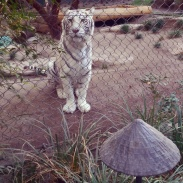 A white tiger posing for a picture in the Secret Garden.