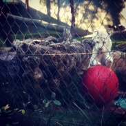 A white tiger playing with his big red ball in the Secret Garden.