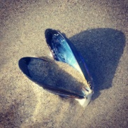 A perfect mussel shell.