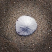 The only perfect sand dollar shell we found at the beach.