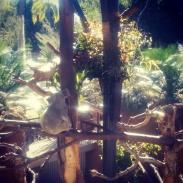 Koalas sleep in precarious positions.