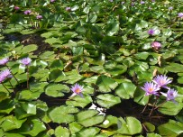 A lotus pond outside of the Shoppes at Marina Bay Sands