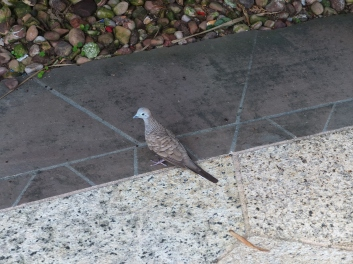 Is this a baby pigeon? It kind of looks like one, but I might be wrong. If not, has one ever seen a baby pigeon?