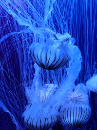 Jellyfish at the S.E.A. Aquarium in Sentosa