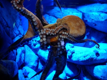 An octopus at the S.E.A. Aquarium in Sentosa. Someone behind me used flash and scared him.