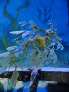 A leafy seadragon at the S.E.A. Aquarium in Sentosa