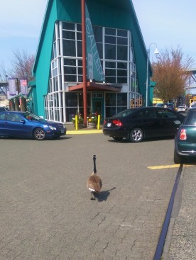 A goose just minding his/her own business on the streets of Granville Island.