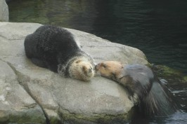 Sea Otters at the Vancouver Aquarium