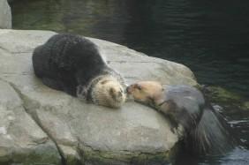 Sea Otters at the Vancouver Aquarium