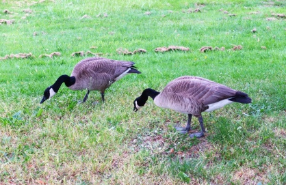 On a walk towards Queen Elizabeth Park we found a couple of geese.
