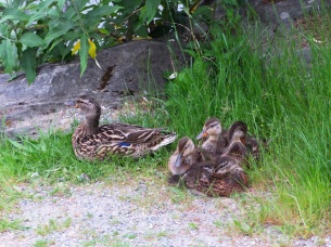 A mama duck and her ducklings.