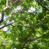 A black-crowned night heron. These trees were filled with them and their nests.