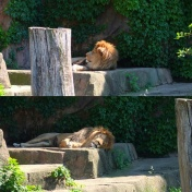 The lion is napping in the shade.