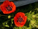 Look at these giant poppies!